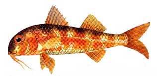 barbunya Türkiye'deki balık çeşitleri nelerdir?