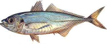 istavrit Türkiye'deki balık çeşitleri nelerdir?