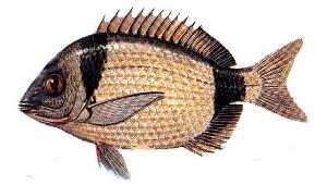 karagoz Türkiye'deki balık çeşitleri nelerdir?