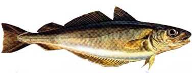 mezgit Türkiye'deki balık çeşitleri nelerdir?