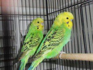Yavru Muhabbet Kuşları, Yeşil muhabbet kuşu, Muhabbet kuşum, çekoslavak muhabbet kuşu,