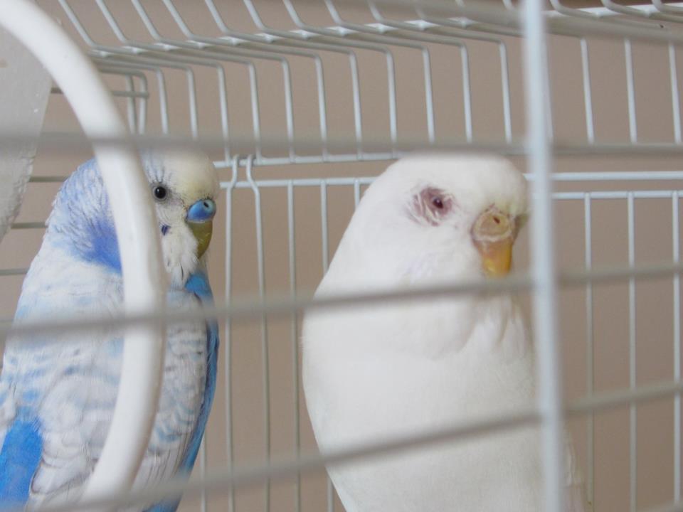 Göz Çevresi Mantar Kafes Kuşlarında Mantar Hastalığı