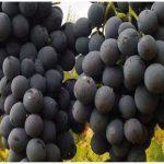 Erzincan'ın Endemik Meyvesi: Cimin Üzümü