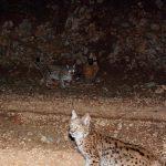 Vaşak (Lynx lynx)