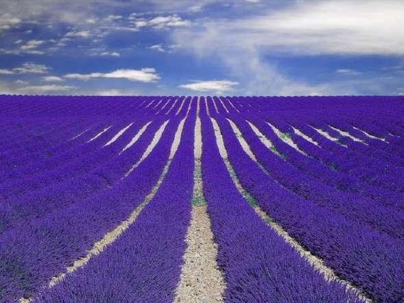 Provence-France-lavanta