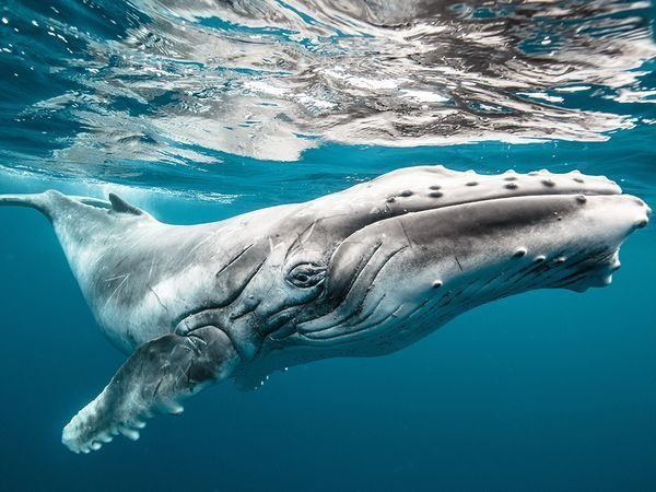 baby-humpback-whale_91284_600x450