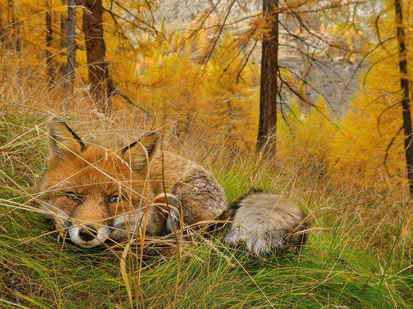 fox-gran-paradiso-italy_87531_600x450