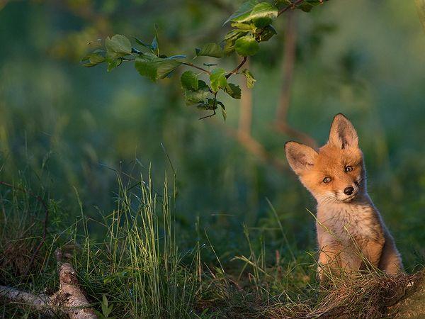 red-fox-estonia_91836_600x450