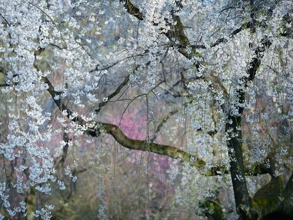 weeping-cherry-blossoms-kyoto_90432_600x450