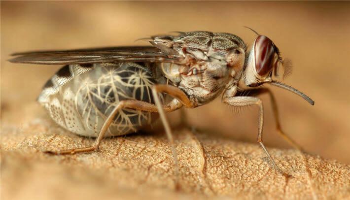 -çeçe sineği- Yeryüzünde İnsan Ölümüne En Çok Sebep Olan Canlılar ( Sıralamaya Dikkat!! )