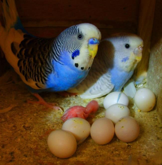 muhabbet-kusu-yumurta