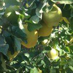 Mevsim Meyvesi,Ayva Diyeti